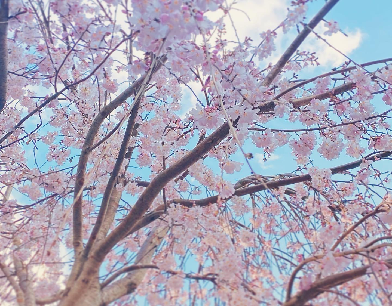 満開の枝垂れ桜@2021春